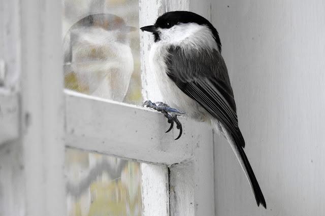 Hömötiainen, Hömppä, lintu ikkunalla