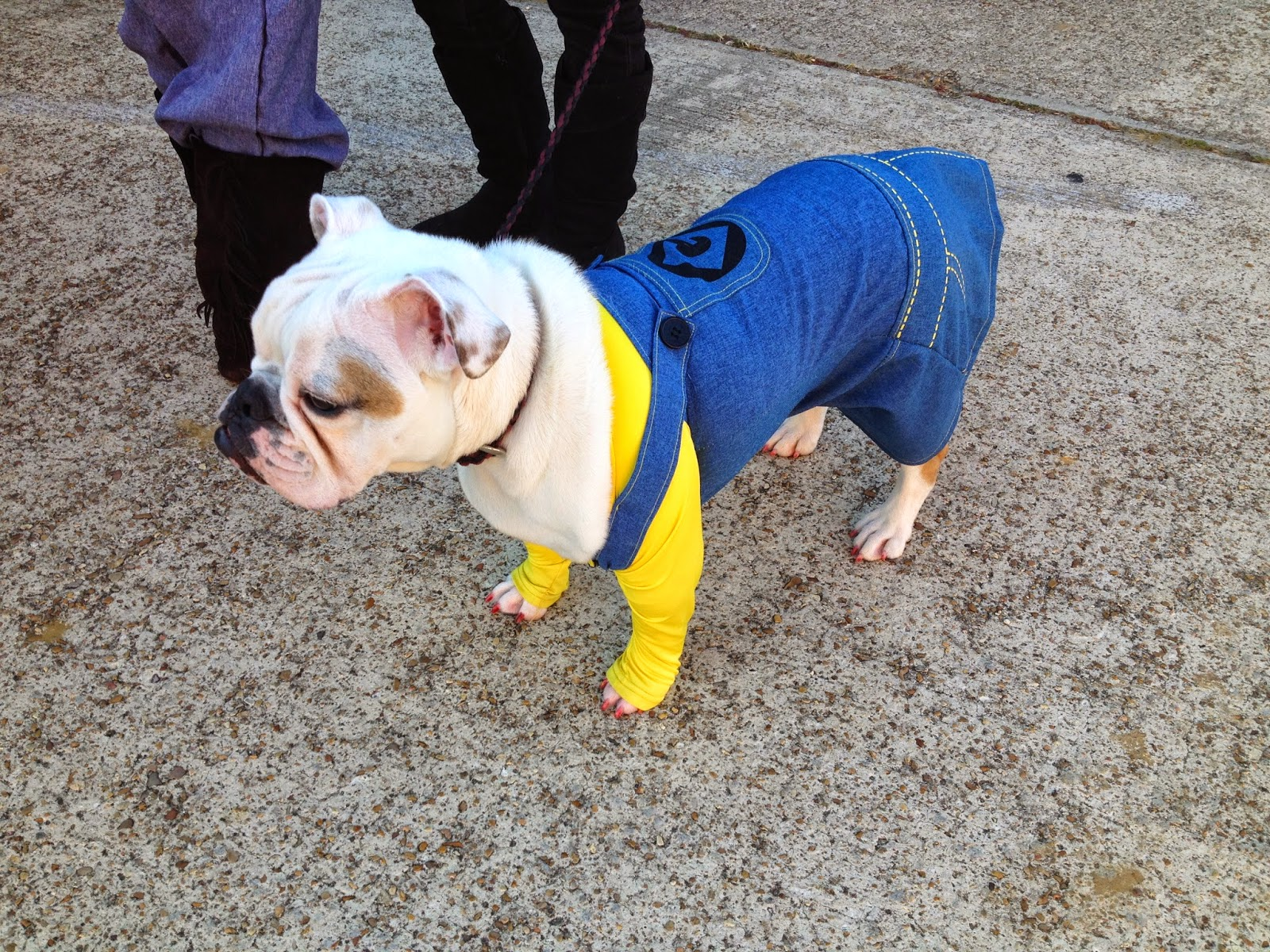 bulldog dressed up