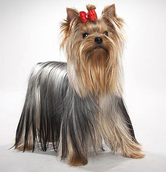 Yorkshire terrier breed Characteristics