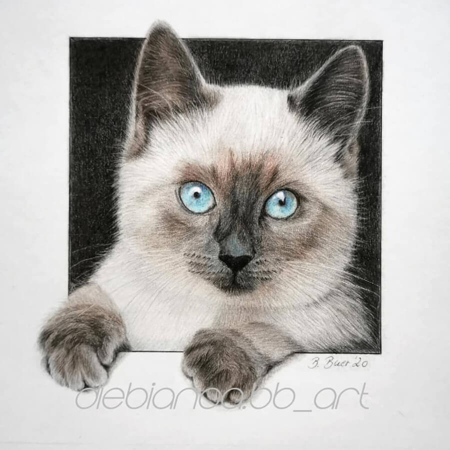 01-Siamese-kitten-blue-eyes-Bianca-Buer-www-designstack-co