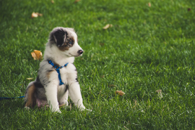 A fluffy grey and white Australian Shepherd puppy is wearing a blue harness and sitting on grass