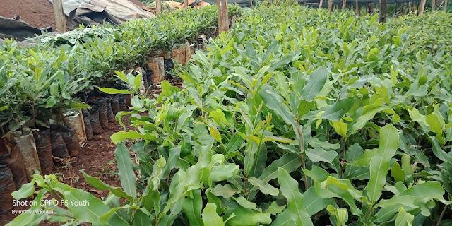 macadamia seedlings for sale in Kenya