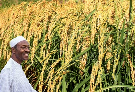 Nigeria Now largest Producer of Rice In Africa