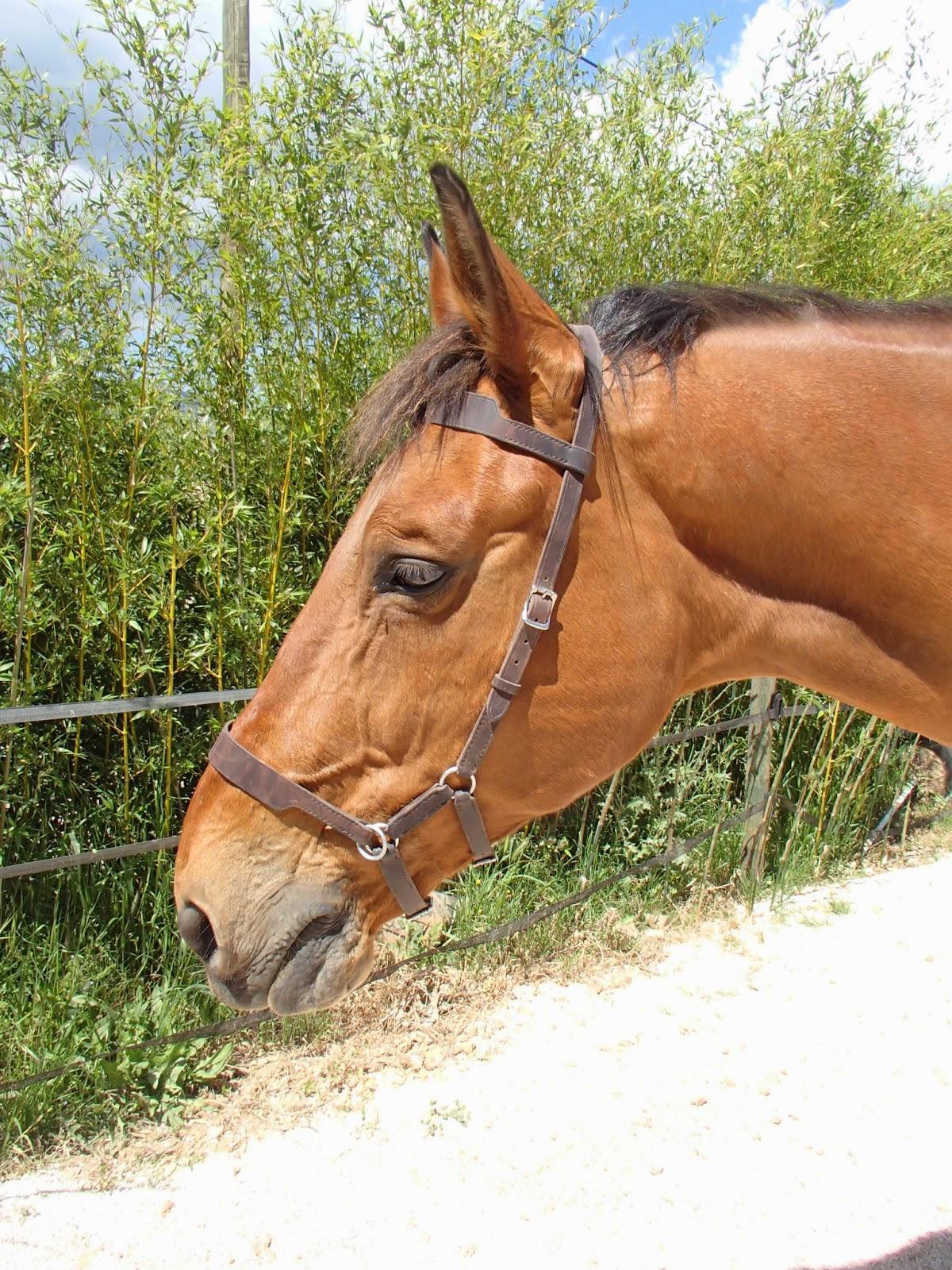 Sidepull sur un cheval