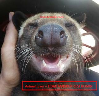 Akibat buruk pangkur gigi Hewan