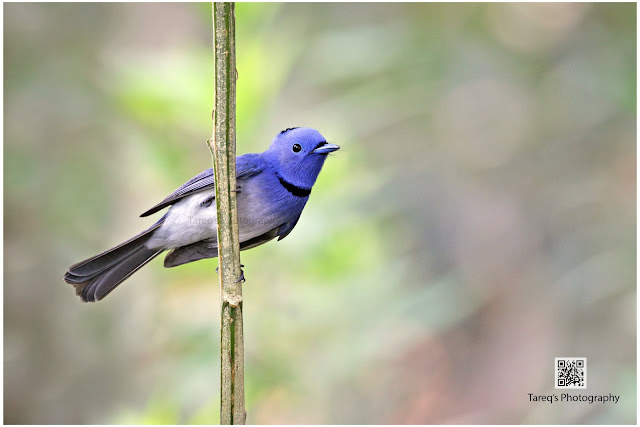 Black-naped Monarch photo