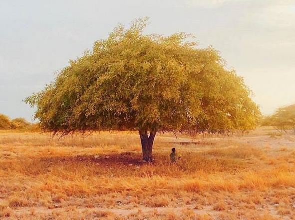 Uniknya, Di Pulau Sumba Punya Pohon Sakura | Pesona Indonesia