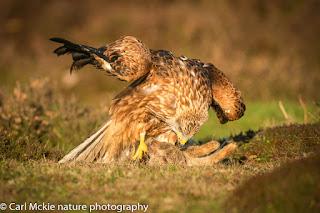 Red Kite, Milvus milvus, Autumn in Suffolk, feeding on carrion.