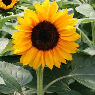 bunga-matahari-surabaya01