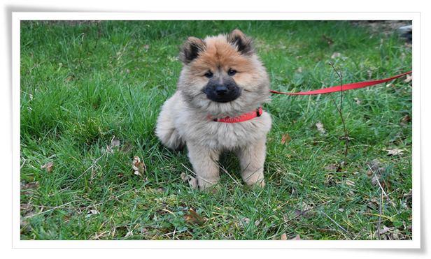 puppy leash training age