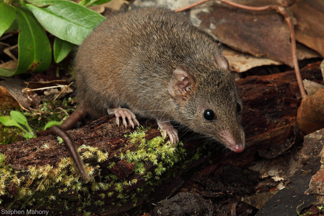 Antechinus Mouse Stuartii