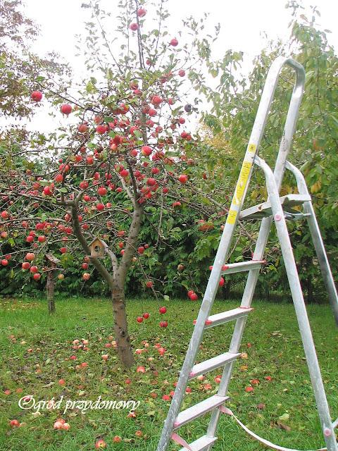 zbieranie jabłek, ogród przydomowy