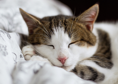 tabby and white cat asleep