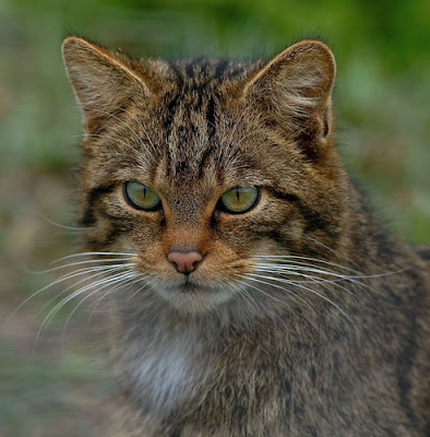 close up of Scottish Wildcat