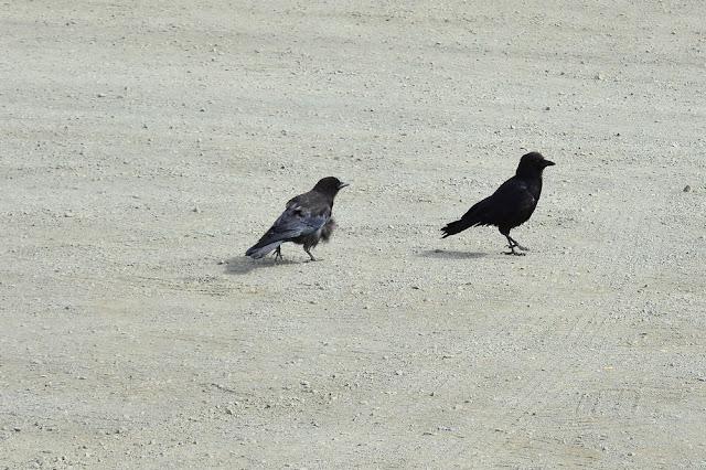 Corvus brachyrynchos