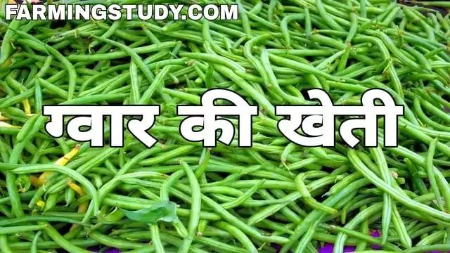 ग्वार की खेती कैसे की जाती है पूरी जानकारी | gwar ki kheti kaise kare?, ग्वार क्या काम आता है इसका उपयोग, ग्वार की उन्नत किस्में, ग्वार की खेती का समय