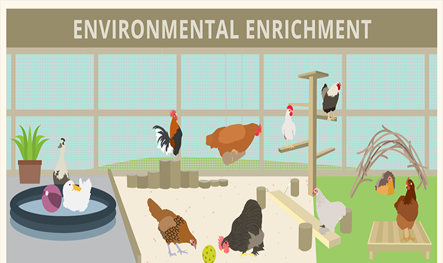 Environmental Enrichment Ideas for Poultry