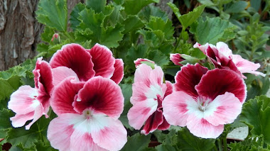Pelargonium grandiflorum Aristo 'Darling'.