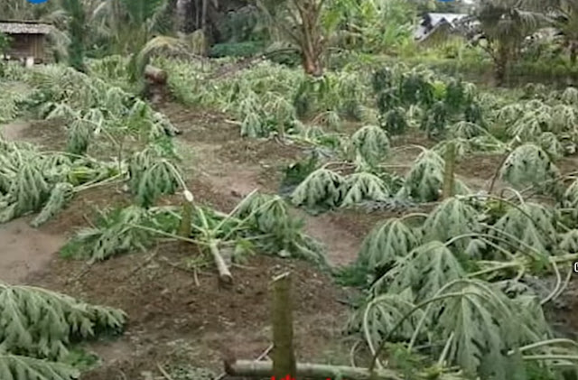 Hendak Dipanen, 650 Pohon Pepaya di Langkat Justru Ditebang OTK, Anak Korban Terancam Gagal Kuliah