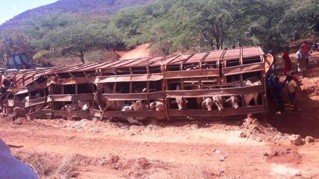 Carreta carregada com bois tomba na BR-122 em Urandi