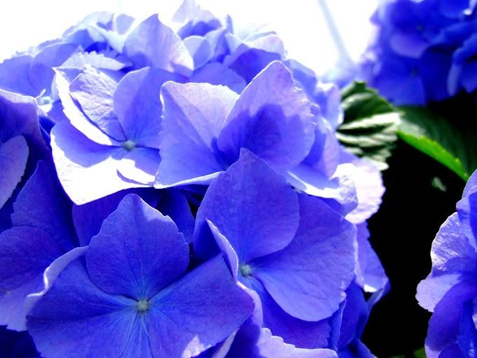 045  #アジサイ #花 #紫陽花