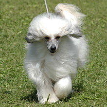 Chinese Crested dog in beautiful position