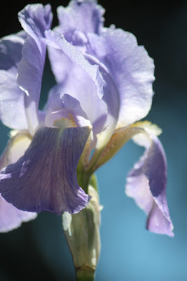Photo Close Up Iris