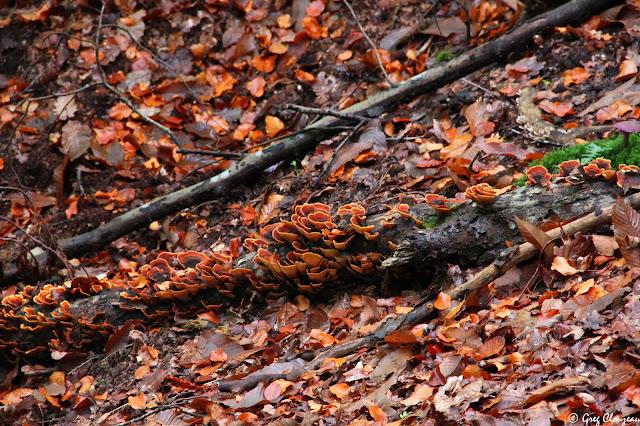 Digestion lente d'une branche de hêtre par une colonie de stérées en Forêt de Fontainebleau