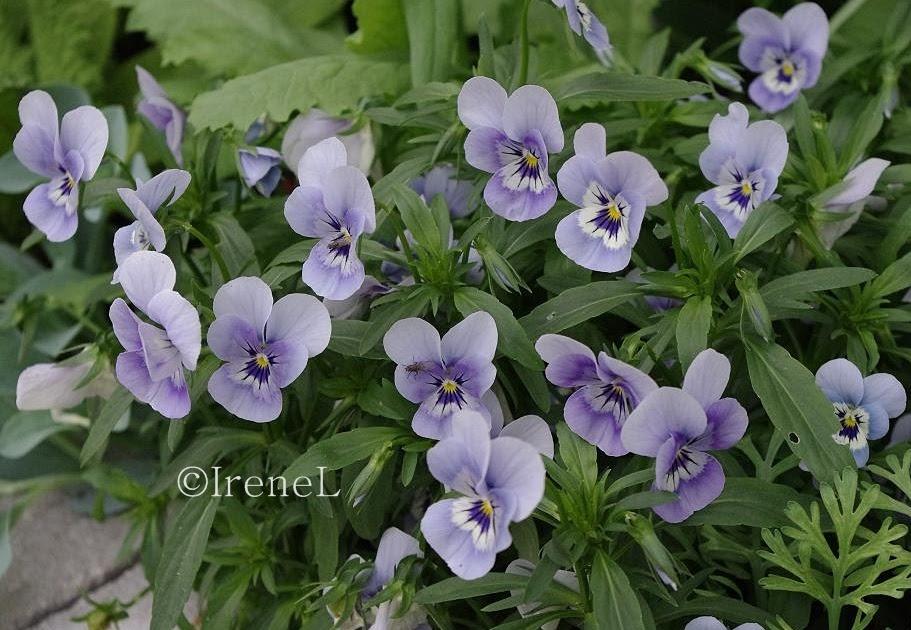Blomster-tips: Hornviol, Viola cornuta