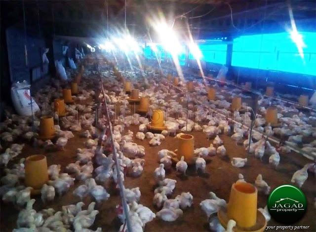 Tanah Bonus Peternakan Ayam Jogja Utara