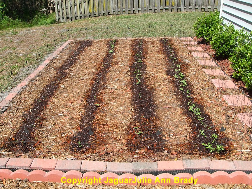 Sunflower Seedlings in the Four Rows JaguarJulie 2014