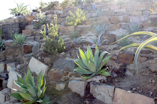 "Agave ""Blue Flame"" newly planted in a Hillside Garden"