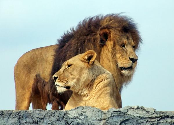 Lion And Lioness Love Quotes. QuotesGram