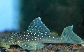 Ikan Sapu Sapu Blue Phantom Pleco