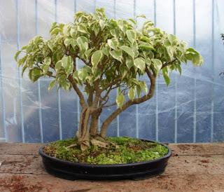 gambar bonsai beringin putih