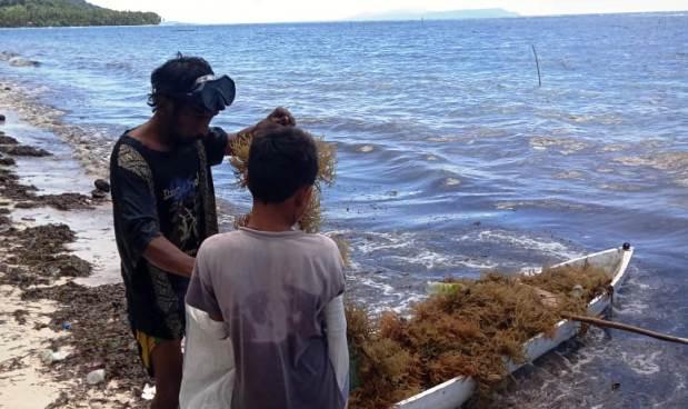 Panen Ditengah Pandemi, Petani Rumput Laut di Tambolongan Selayar Gembira