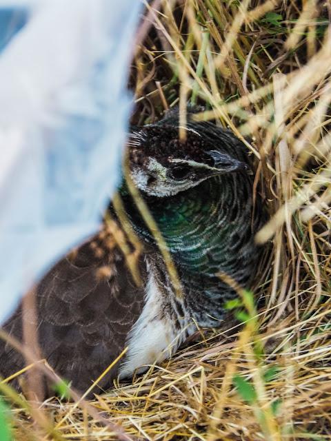 mevrouw pauw op nest