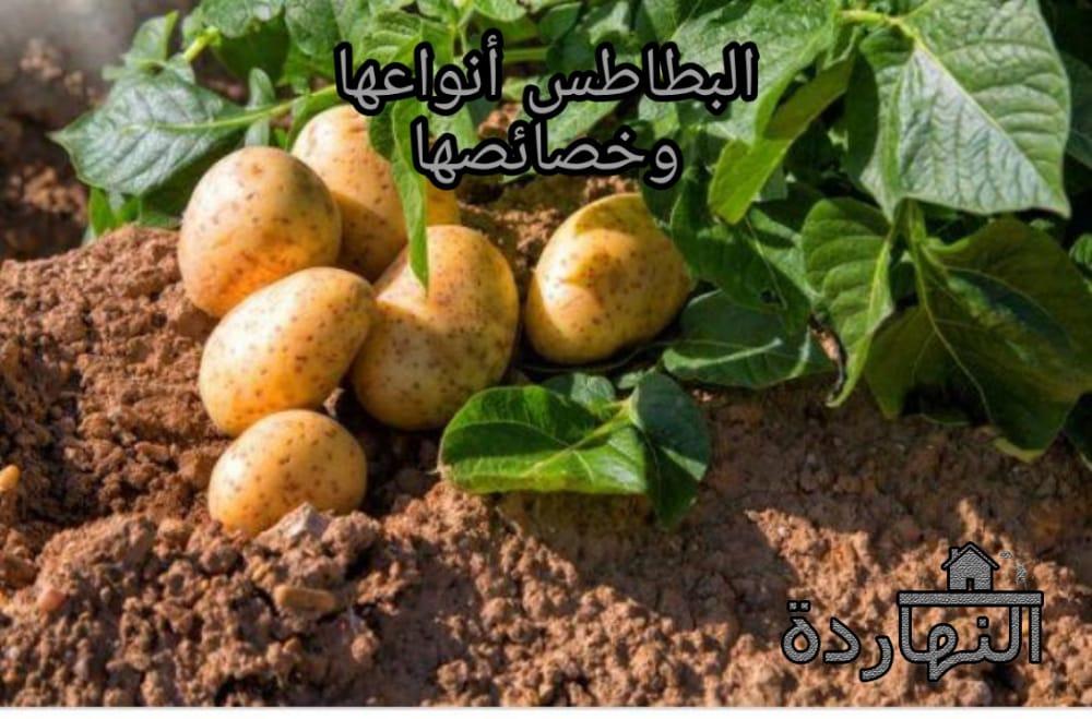البطاطس أنواعها وخصائصها