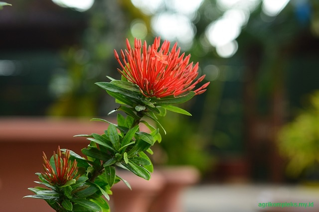 Cara menanam bunga asoka
