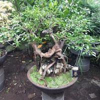 Ciri Ciri Pohon Kimeng