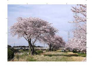 花見川の桜並木
