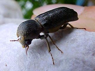 kumbang-bubuk-kayu-bambu.jpg