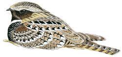 Siphonorhis brewsteri