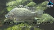 Kiat Sukses Mancing Ikan Nila Mogok Makan