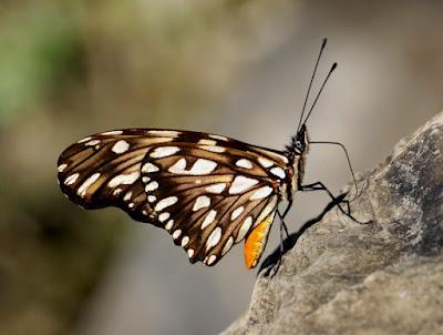 mariposa juno oscura