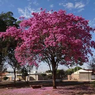 bibit-pohon-tabebuya.jpg