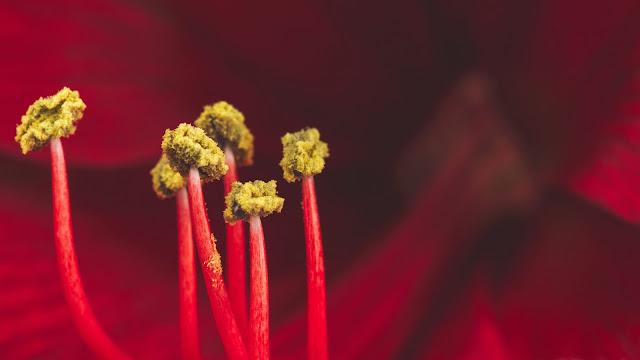 Papel de Parede Flor Amarilis Vermelha, Flor Vermelha, Close Up, hd, 4k.