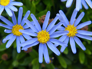 Félicie - Félicia - Pâquerette bleue - Marguerite du Cap - Felicia amelloides