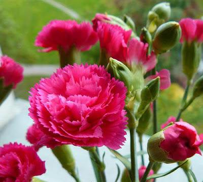 Canartion - Hoa cẩm chướng 1