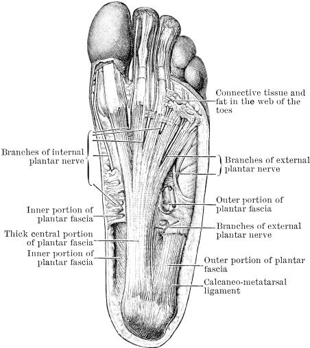 Nerves_ligaments_foot